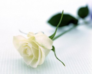 Біла троянда. Фото с сайта liveinternet.ru